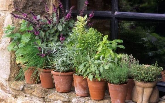 Herbs in containers on windowsill