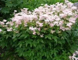 Pin Astilbe grouped together