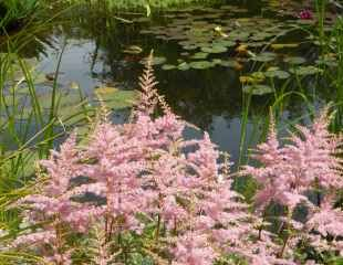 Astilbe planted by a pond