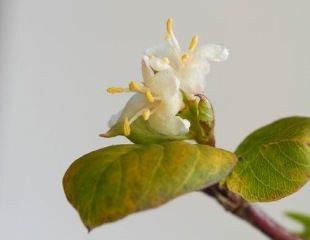 detail of flowers winter flowering honeysuckle
