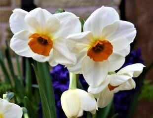Narcissus-scented-'Fragrant Rose'