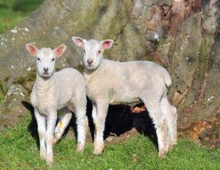 lamb 310