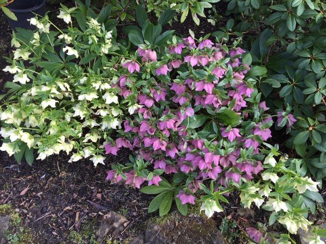 Clumps of Pink and Cream Hellebores  in full bloom