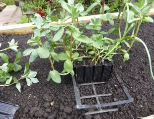Broad beans in root trainers