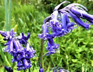 Bright blue bells