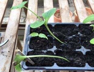 Weedy courgette seedling