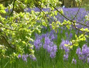 Camassia in woodland setting at RHS Harlow Carr