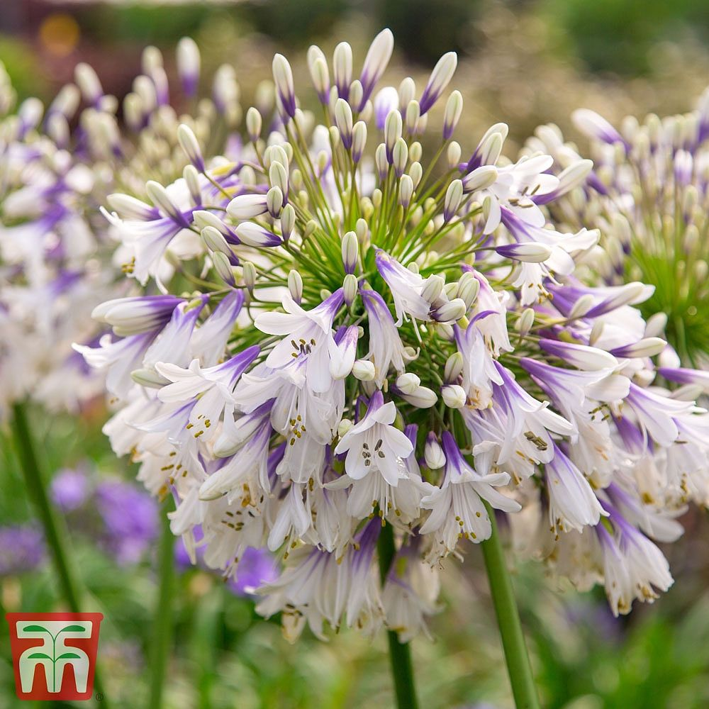 Agapanthus fireworks Chelsea winner 3rd place Plant of year