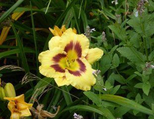 strong yellow Hemerocallis with mauve markings