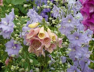summer planting combination delphiniums and foxgloves