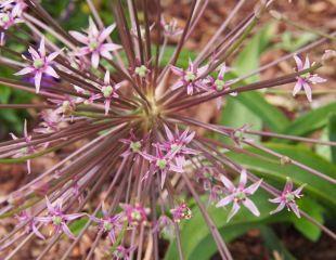 Allium schubertii - Schubert`s allium