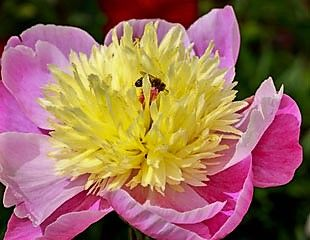 Paeonia-Bowl-of-Beauty-