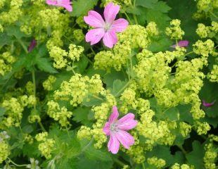 Geranium and Achemillia Mollis