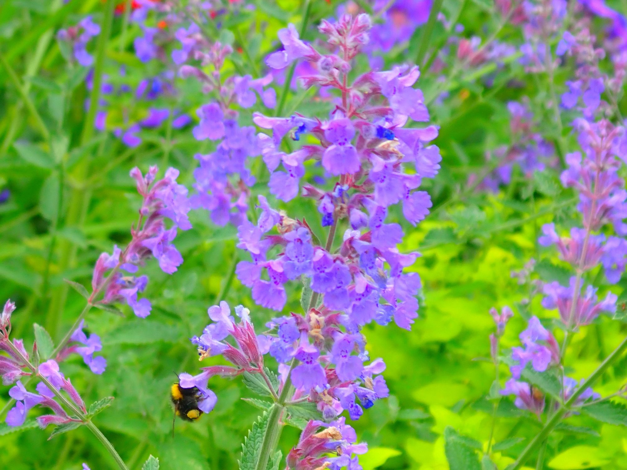 Nepeta and bee 310