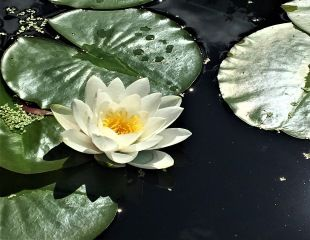 water lily in bloom 310