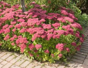 Sedum 'Herbstfreude' is ideal for poor soil and dry conditions
