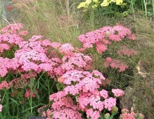 Tough plants for exposed areas grasses and Achillea