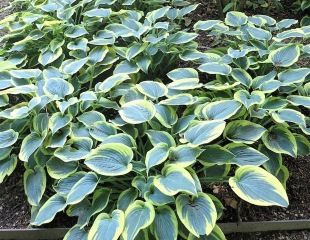 Tough plants for damp shade Hosta