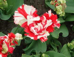 Tulip Estella Rijnveld Parrot