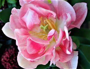 Tulip Peony type  Angelique