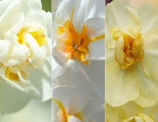 Award-winning fragrant multi-headed narcissus collection - 60+30 Free bulbs RHS AGM daffodil collection