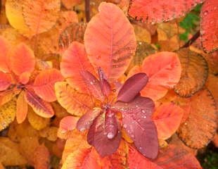 Cotinus with autumn colour