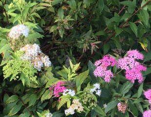 Spiraea japonica Shirobana