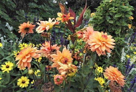 Dahlia in garden setting