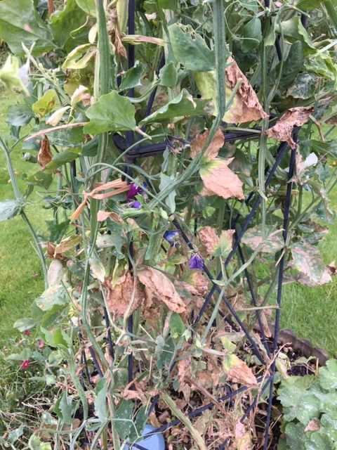 powdery mildew on sweet peas