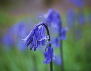 single delicate bluebell