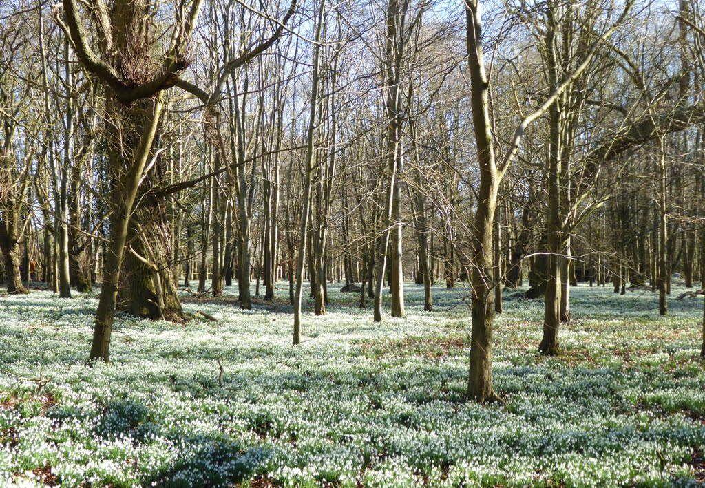 Snowdrops in NGS Welford Park - Berks