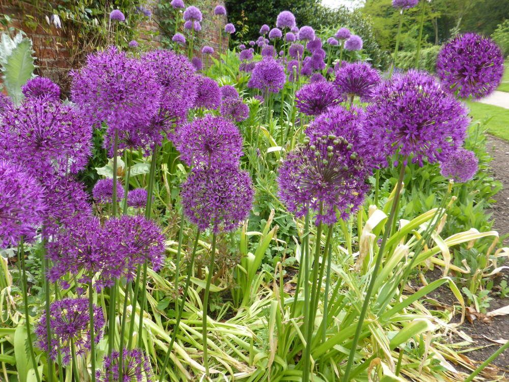 Alliums in Border close up