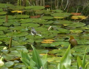 wagtail on lily pad