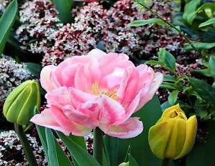 Tulip and Skimmia 310