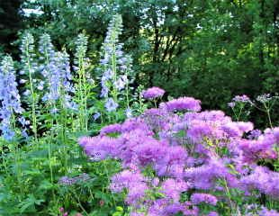 Thalictrum with Delphiniums