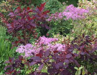 Thalictrum with Cotinus