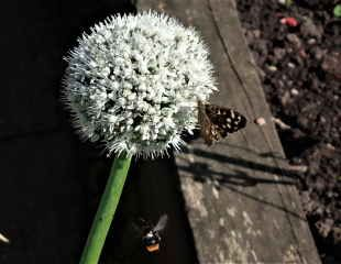 Onion flower with butterfly