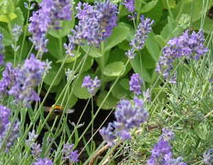 lavender with bee 310