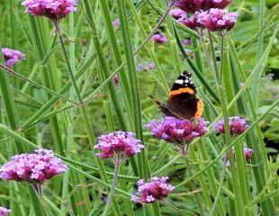 Verbena bonariensis loved by butterflies