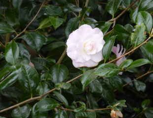 healthy foliage on Camellia
