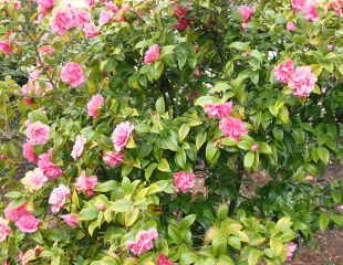 Yellowing foliage on Camellia