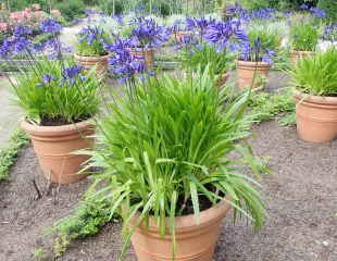 Agapanthus growing in containers