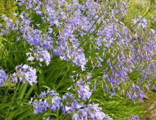 Agapanthus growing in a border