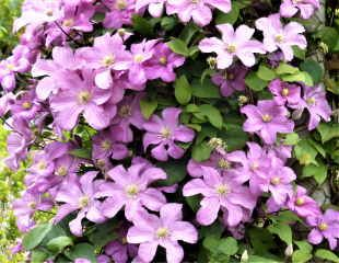 Pink Clematis in bloom