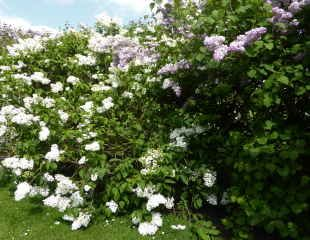 mixed lilac hedge