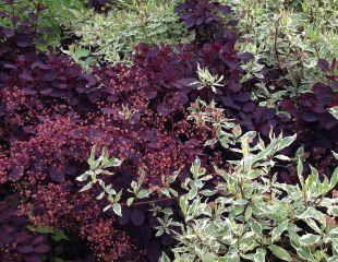 Cornus with Coggygria Royal Purple