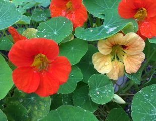 Nasturtiums with raindrops.jpg