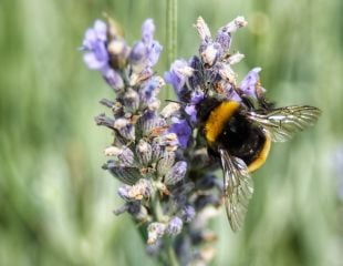 alexander-crawley-Bee on lavender 310.jpg
