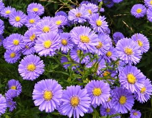 Aster flowering in late summer