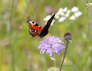 Peter Flemming image Peacock Butterfly on wild scabious